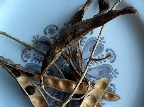 Label 5: Laburnum Seeds