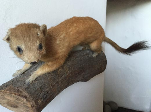 Stuffed Stoat